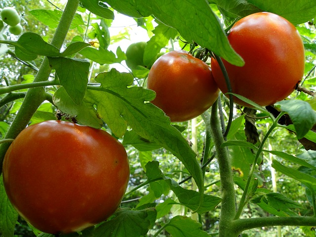 The Last Tomatoes of Summer